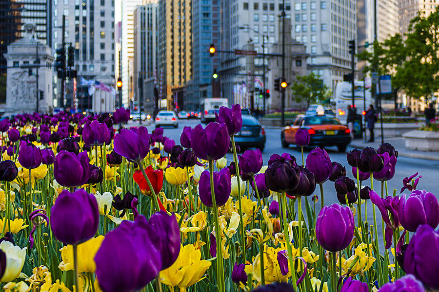 magnificent-mile-tulips-carl-larson